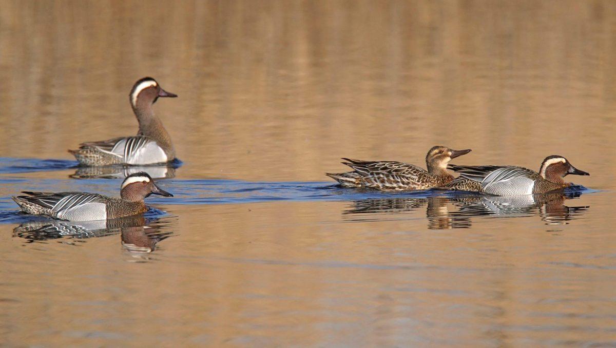 canard sarcelles nage sur l'eau