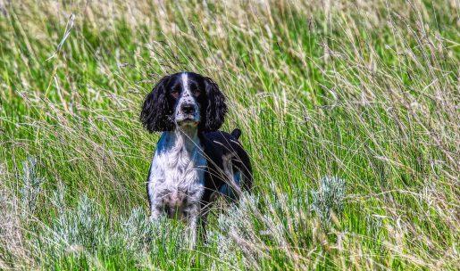 chien de chasse de race spinger sapniel
