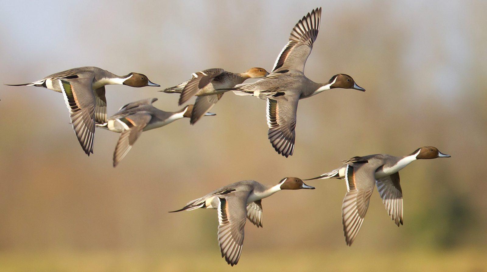 vol de canard souchet