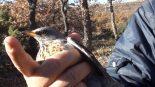 chasse à la glu oiseaux