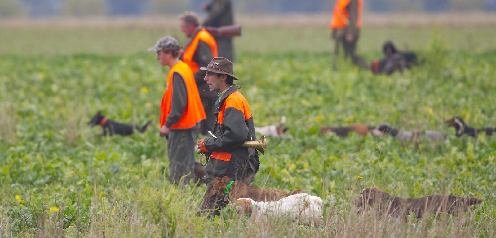 battue dans un champs chasseurs et chiens