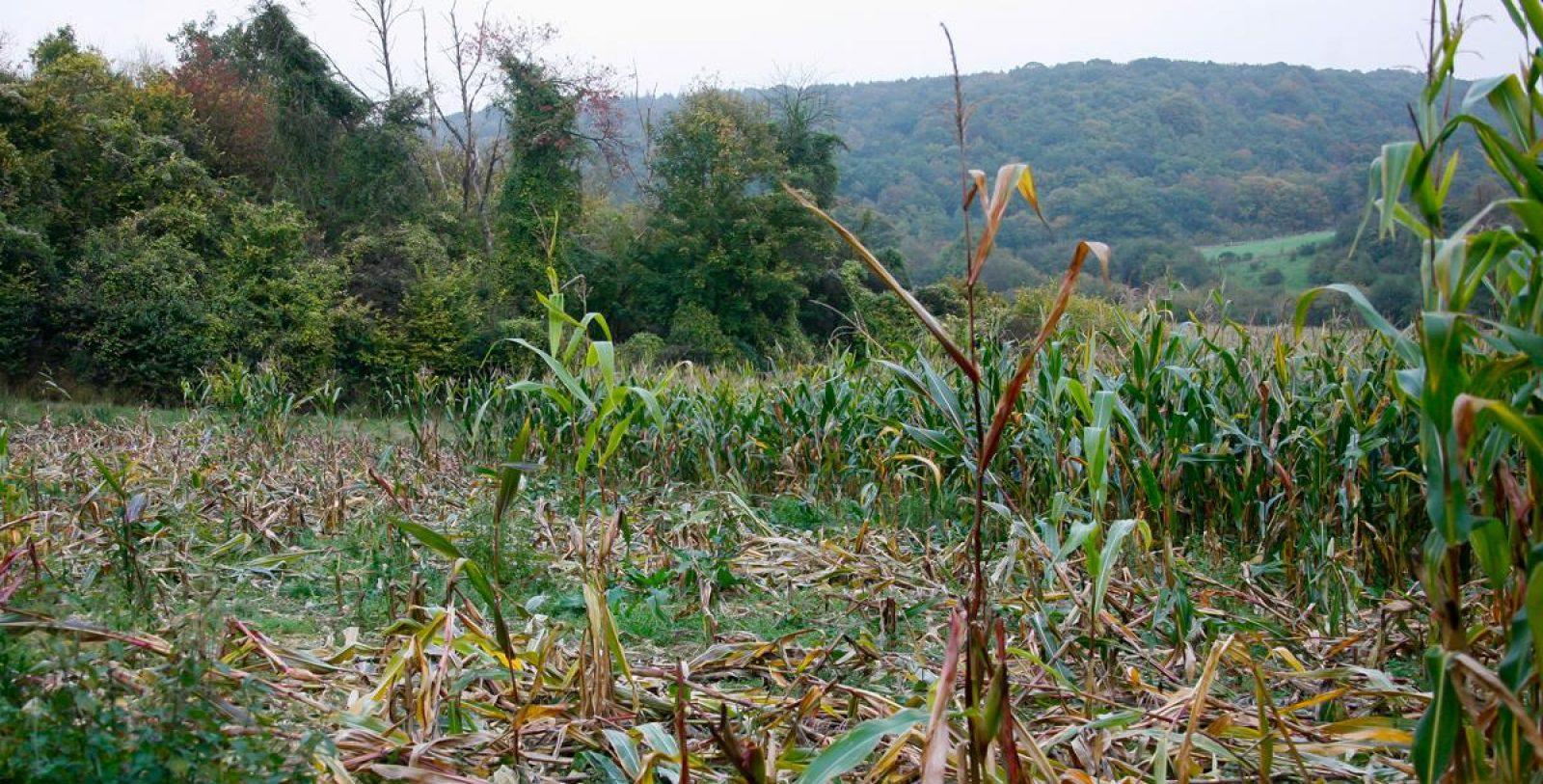dégâts de gibier champs de maïs