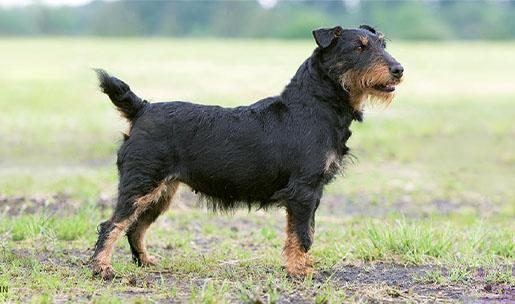Chien de chasse de race jagd terrier