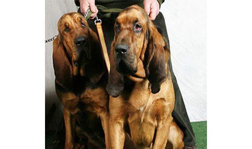 chien de race Saint Hubert