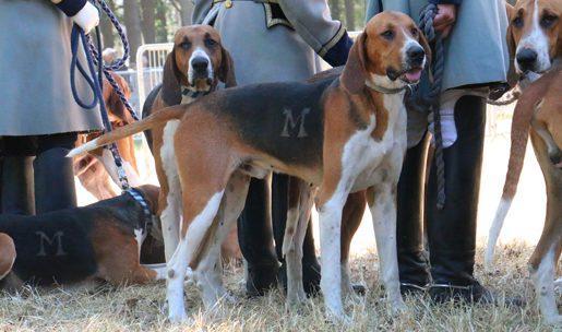 Race de chiens courants Anglo Français Tricolore