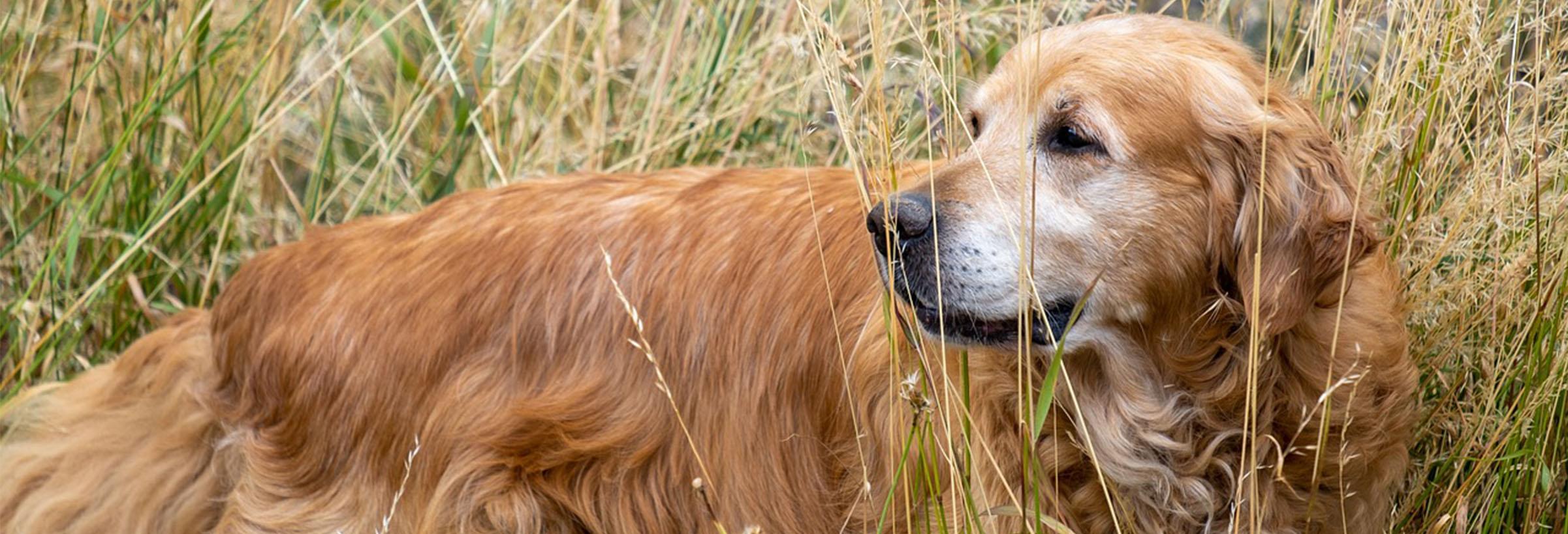 golden retriever chien de chasse