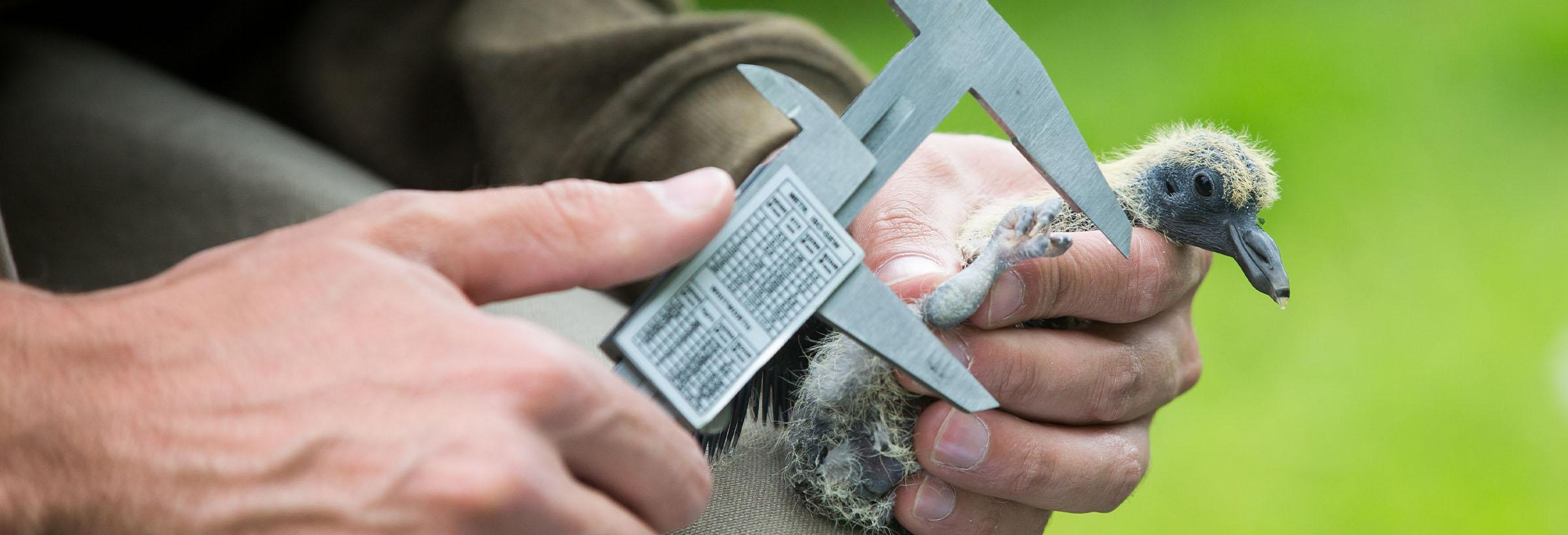 un chasseur pose une bague sur un bébé oiseau bagage oisillon