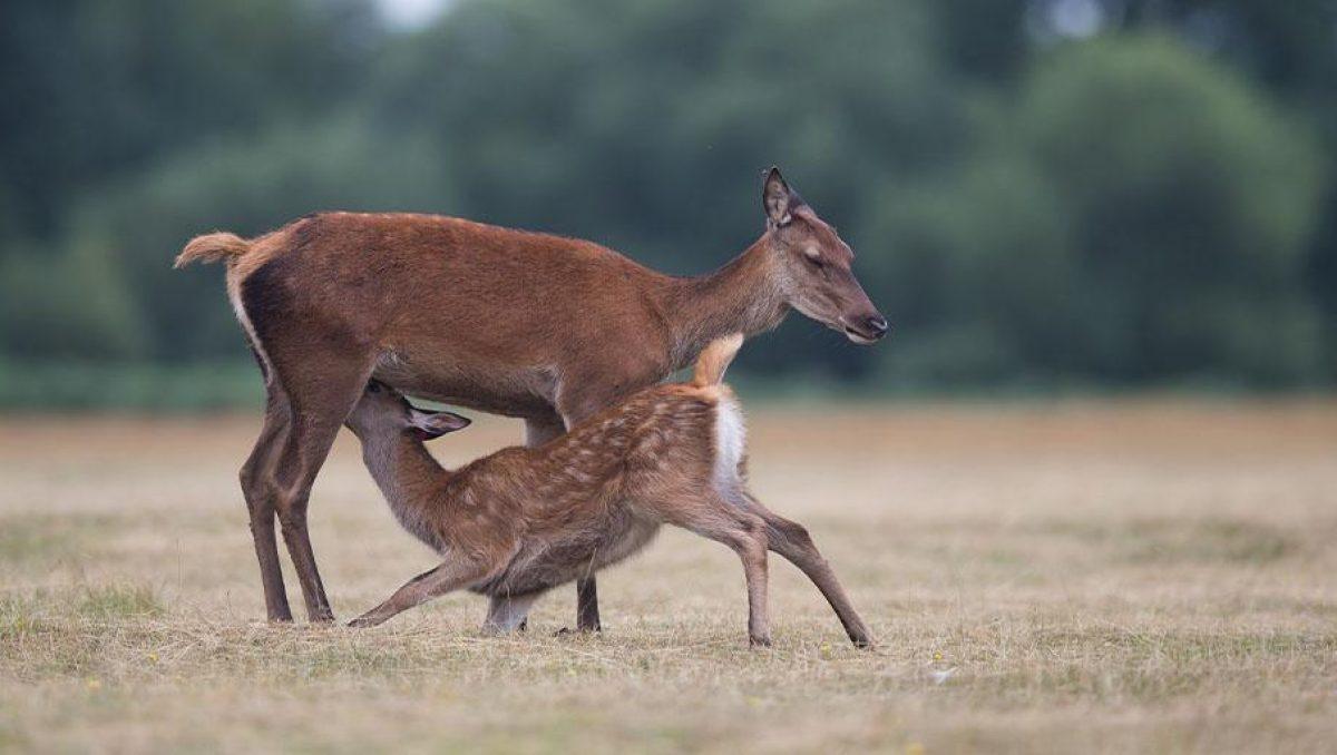 Biche et faon de cerf dans un champs