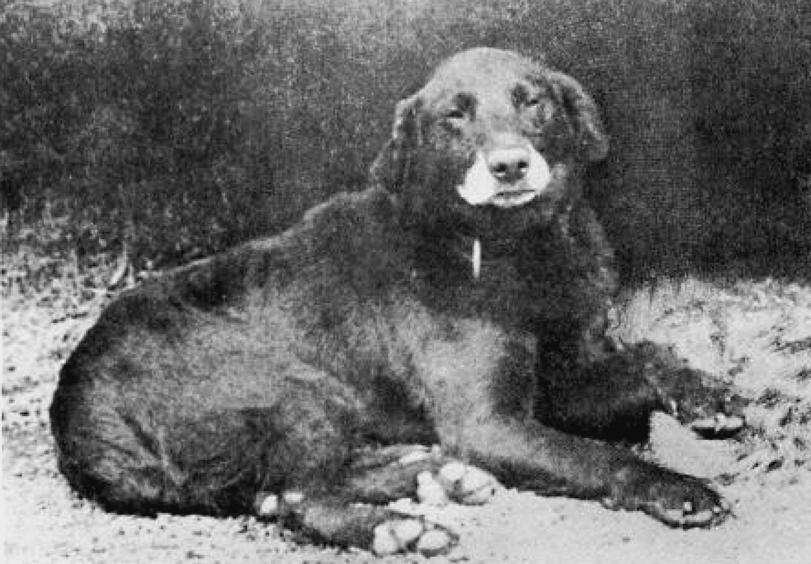 chien de chasse de race buccleuch avon