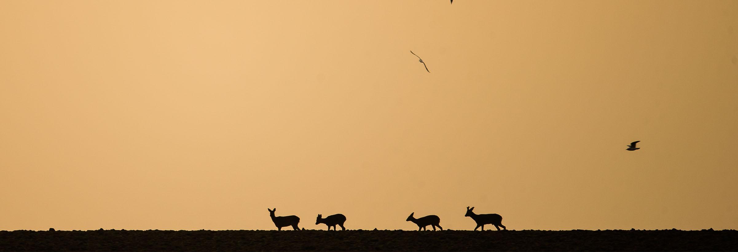 chevreuils dans un champs chasse à l'approche