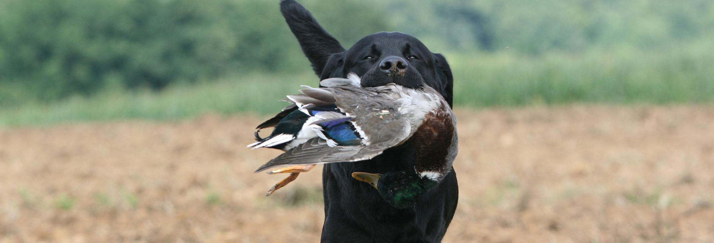 labrador chien de chasse rapporte un canard